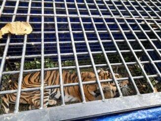 Keterangan foto : Nampak Harimau yang tertangkap di dalam perangkap Fotografer : Tim BKSDA